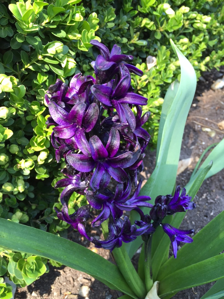 "Love the ""black"" color of these hyacinths"
