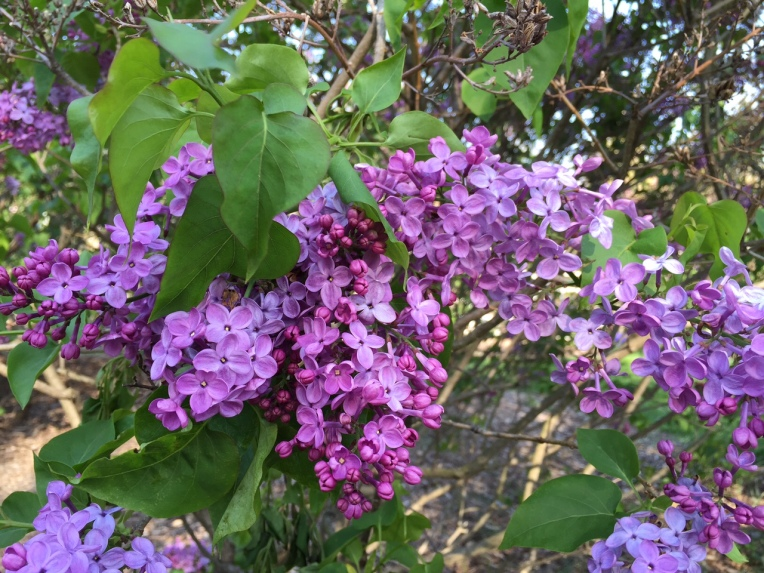 The scent from the lilacs was quite heady