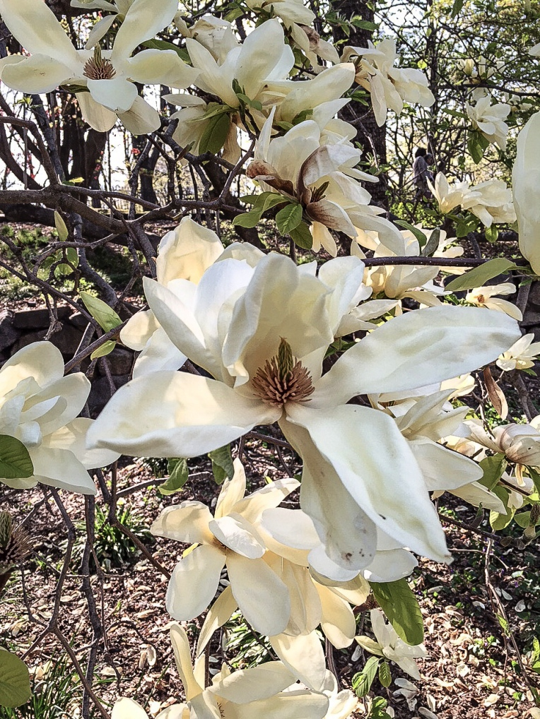 Hard to capture the color of these magnolias. They have a hint of  buttery  yellow.