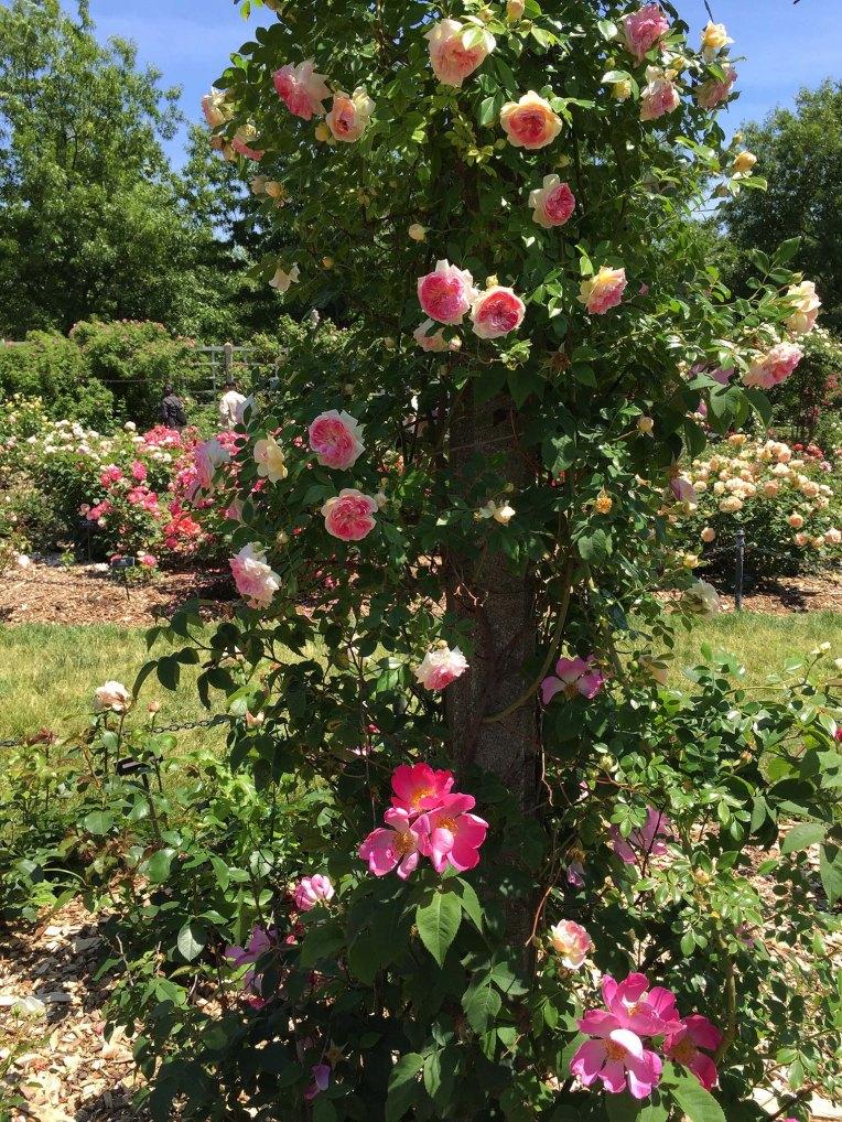 Cranford Rose Garden Inspiration