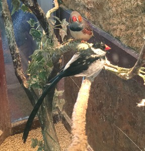 Pin Tail Whydah